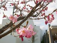 さくら産院の『さくら』もそろそろ開花でしょうか。