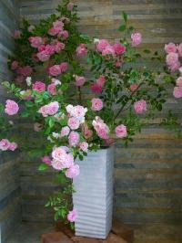薔薇の季節になりました。